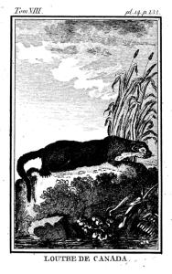 Lontra canadensis