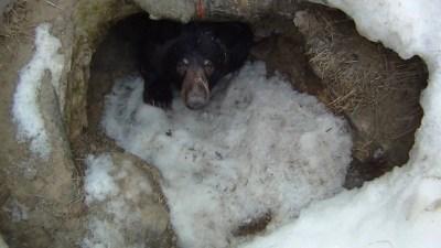 Dans la tanière de l'ours