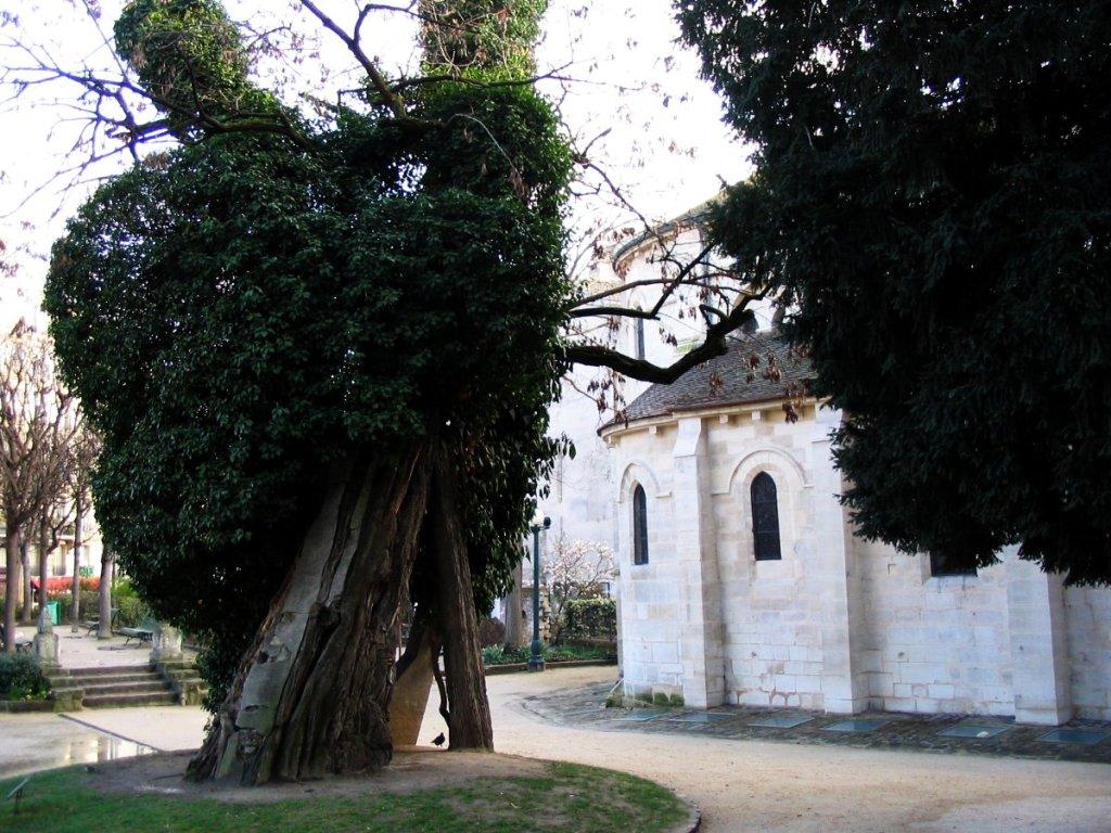 St Julien-le-Pauvre et le plus vieil arbre de Paris