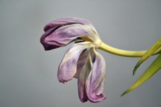 Tulip. Photo Jessical Blair