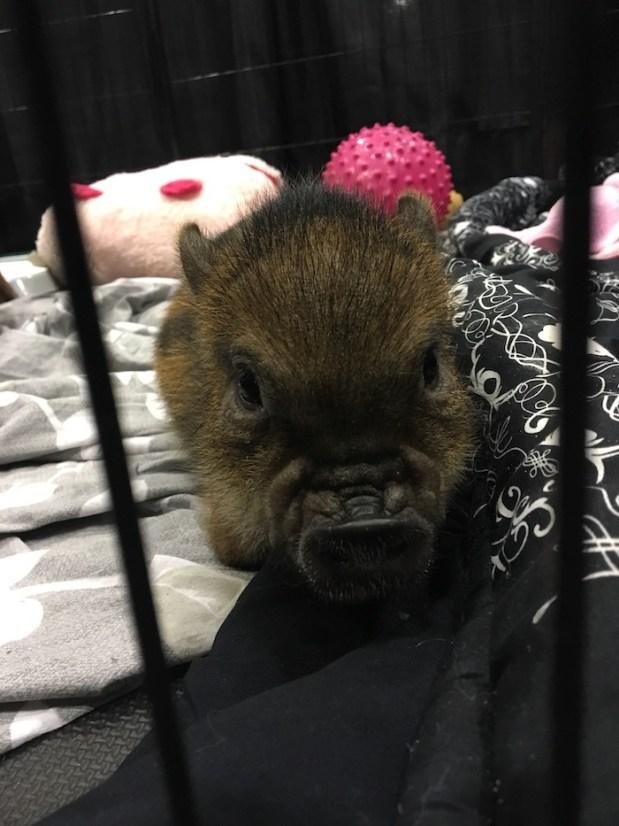 Mini Pig. Salon National de Animal Compagnie de Montreal. SNAC. Photo Rachel Levine