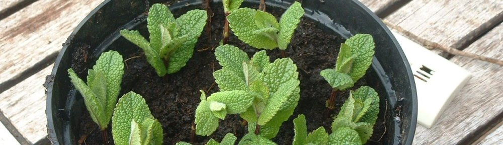 Mint cuttings in Orgasyl