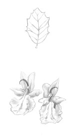 Fulla d'alzina i flors de Romaní (apunts) | Hoja de encina y flor de Romero (apuntes) | Oak leaf and Rosemary flowers (sketches)