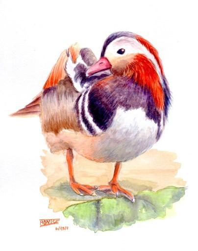 Ànec Mandarí | Pato Mandarín | Mandarin Duck (Aix agericulata)