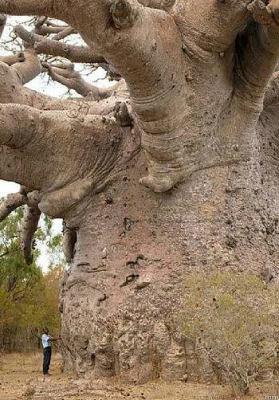 Plus Vieil Arbre Du Monde : vieil, arbre, monde, Général, Sherman,, L'arbre, Grand, Monde