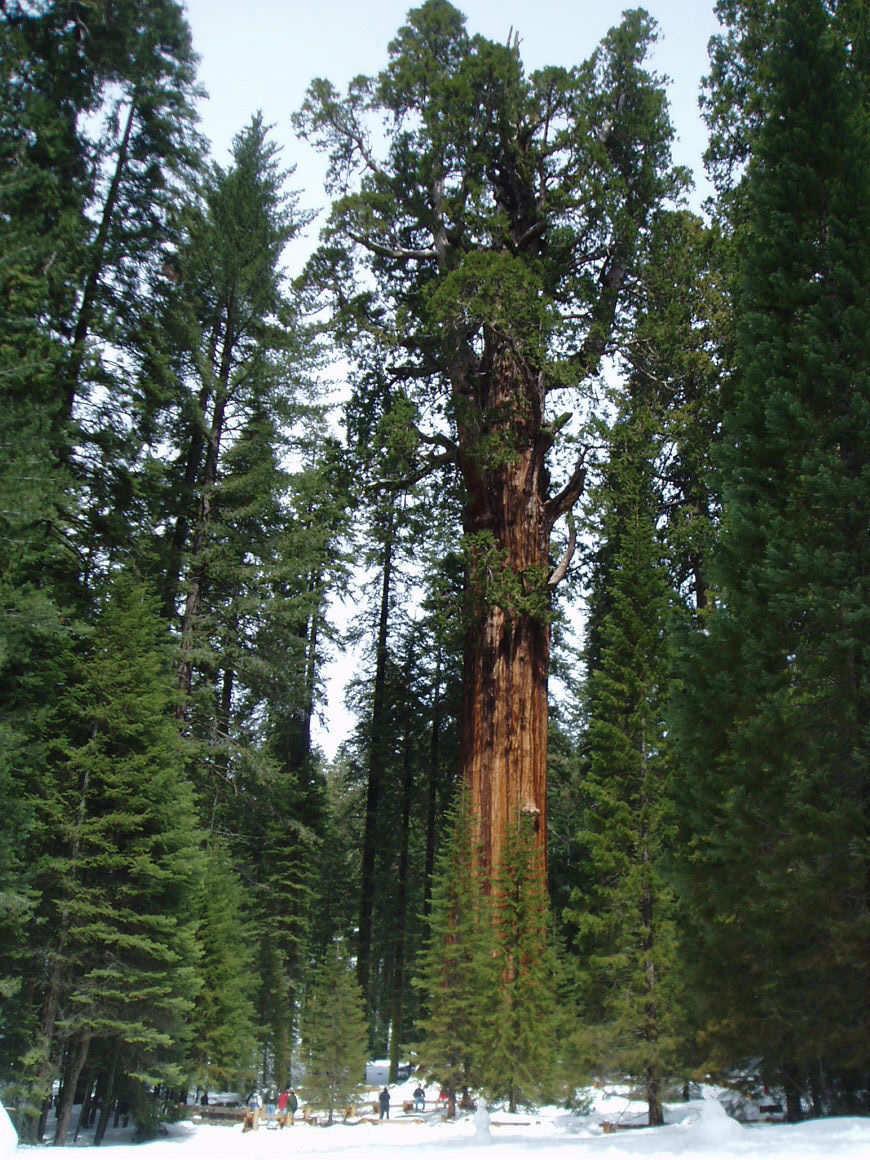 Les Plus Grands Arbres Du Monde : grands, arbres, monde, Général, Sherman,, L'arbre, Grand, Monde