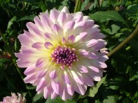 Dahlia-decorative-purple-white-flower | Moods Mania