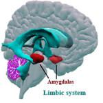amygdala2
