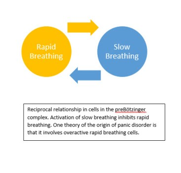 Reciprocal relationship in cells in the pBc