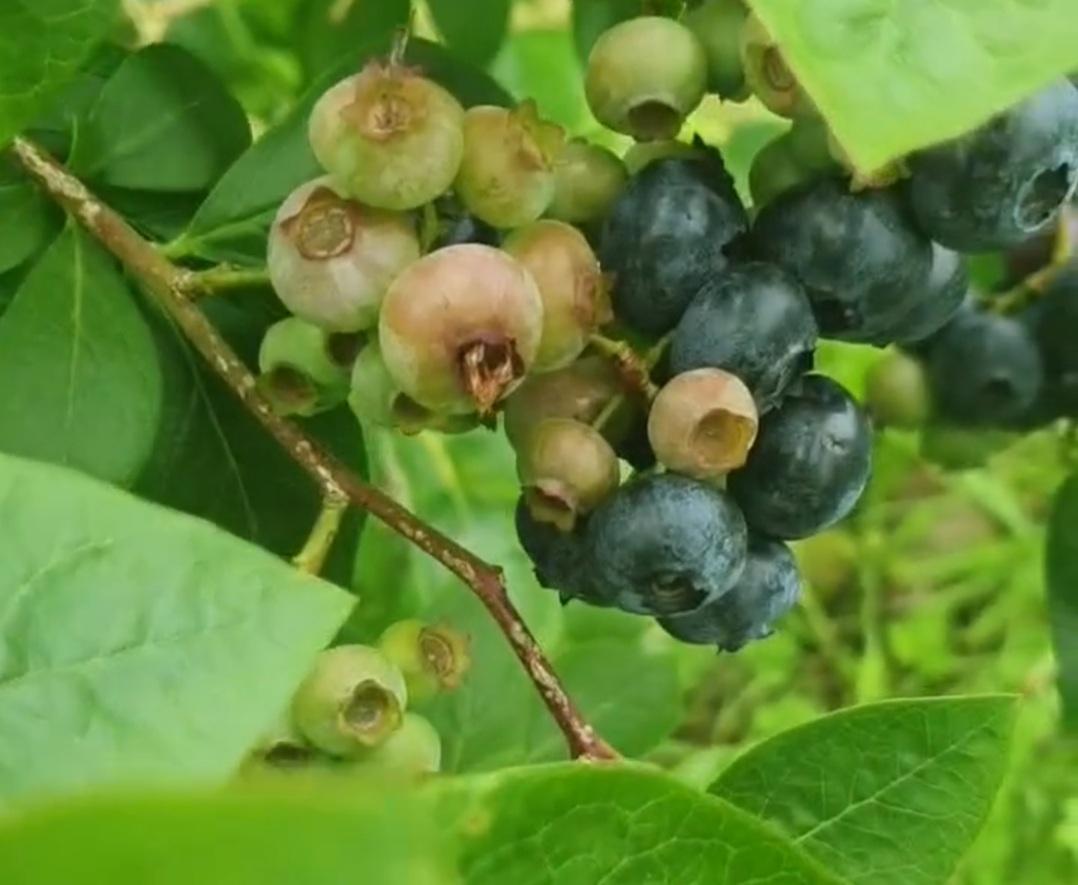 cultivar arandanos