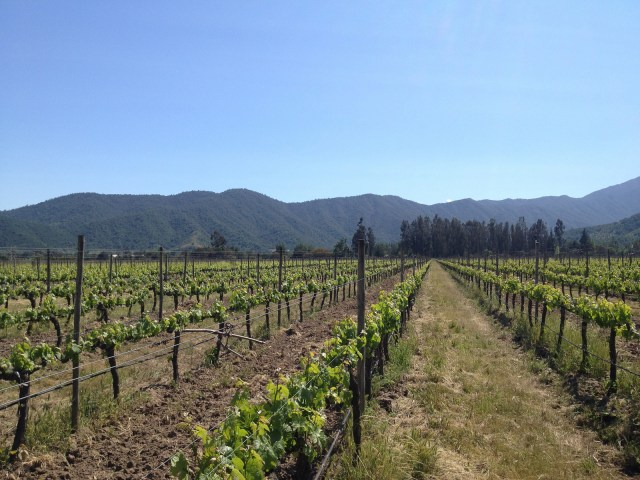 Rows of grape vines on a clear day with mountains off in the distance.
