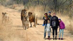 På safari blant løver i Afrika