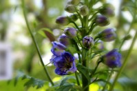This larkspur has fully bloomed now, and its purple-blue flowers take my breath away!