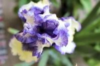 Orinoco Flow iris.