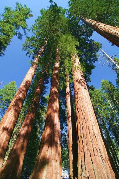 Giant Sequoia 2