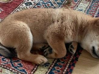 Elon Musk's New Puppy Tweet Sends Shiba Floki Token Soaring, FLOKI Jumps More Than 900% in 24 Hours