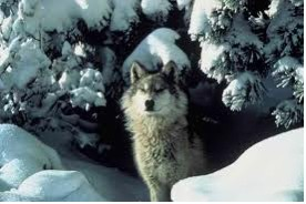 1-1 WOLF IN SNOW