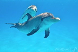 Dolphins in Bimini, photo by Atmo, www.Wildquest.com