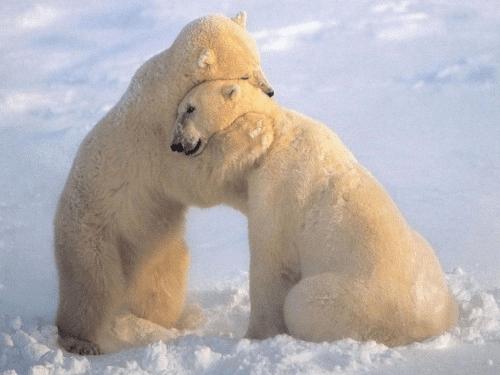 Polar Bears-Hugging