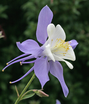 COLUMBINE FLOWER : BLUE