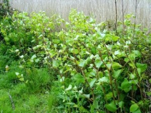 Japanese Knotweed 2 websize small