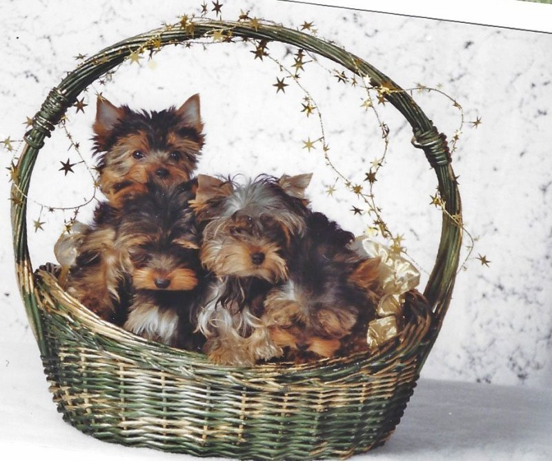 Puppies For Sale – Moonlight Yorkies