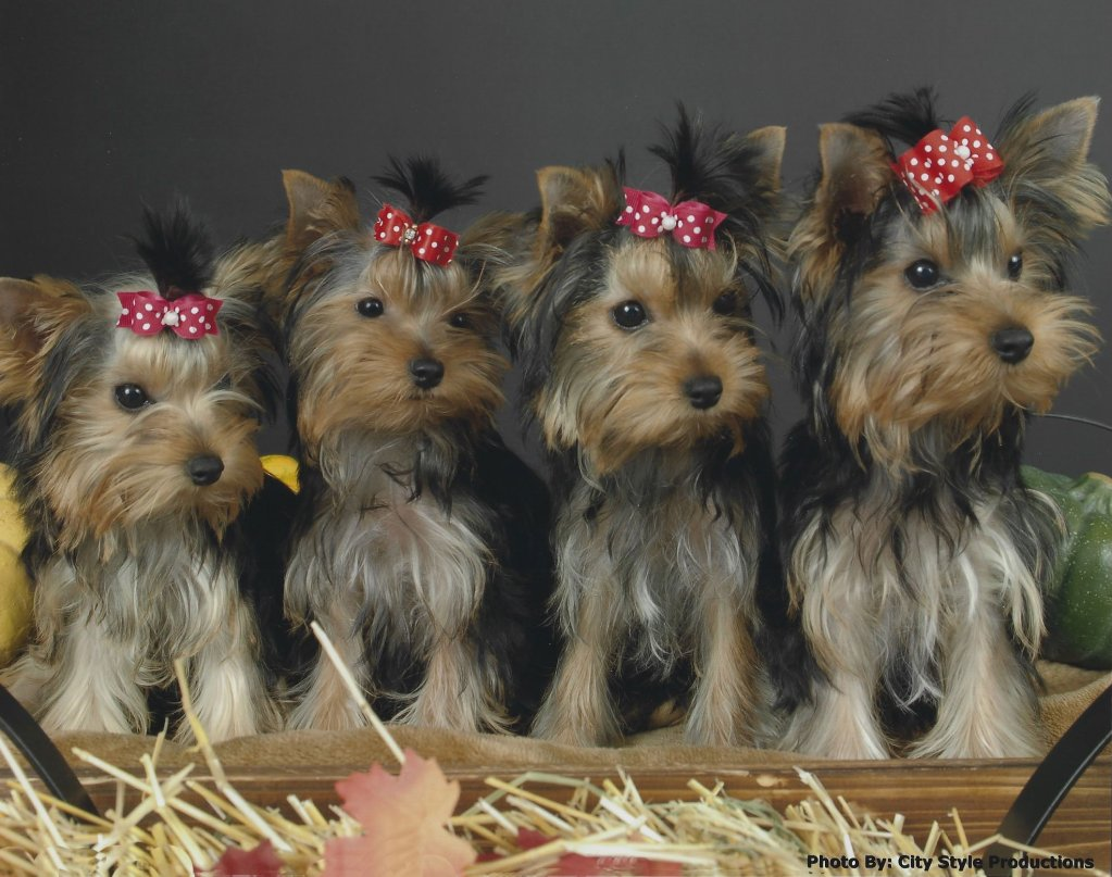 yorkies – Moonlight Yorkies