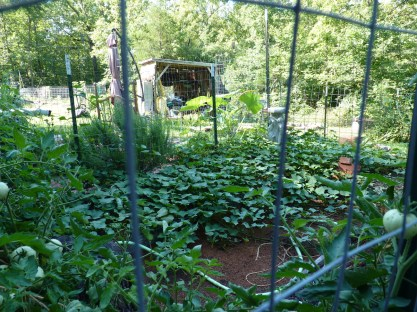 """Part of the """"Kitchen Garden"""". Sweet potatoes in the back and tomatoes in front."""
