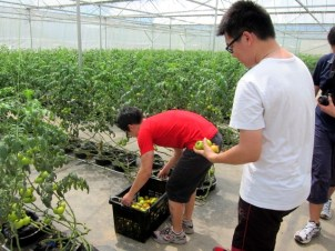 Gardening For Food: Tomato harvesting competition