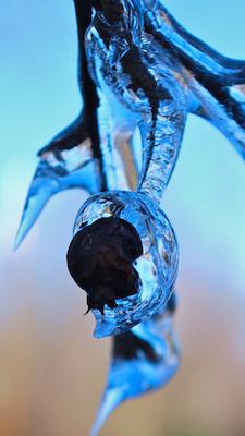 frozenbud