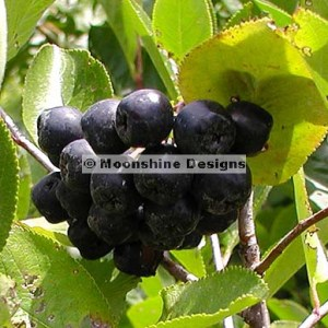 Aronia (Black Chokeberry) NERO