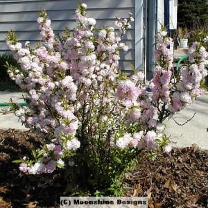 Almond, Flowering