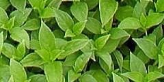 Wholesale Herb Plugs