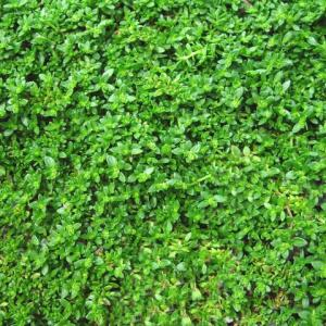Herniaria, Green Carpet