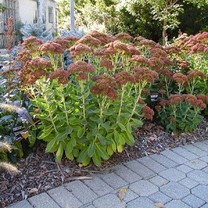 Sedum, Autumn Fire