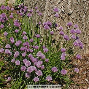 Chives, Garlic or Onion, Plug Flat