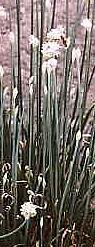 Chives, Garlic or Onion, Plug Flat