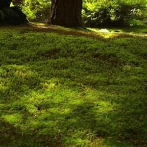 Herniaria, Green Carpet