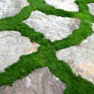 "Moss, Irish ""Crispy"" Plug Flat"