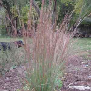 Grass, Schizachyrium scoparium, Little Bluestem Plug Flat