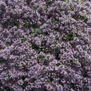 Thyme, Creeping, Mother of Thyme Plug Flat