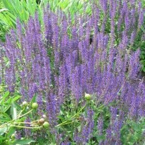 Catmint, Blue Carpet