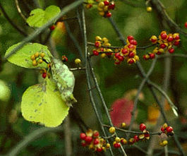 Angulatus Bittersweet Seed