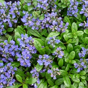 Ajuga, Mint Chip