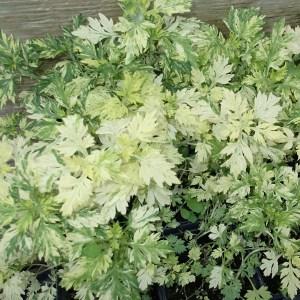 Artemisia, Oriental Limelight