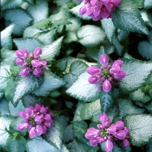 Lamium,'Purple Dragon' PP15890 Plug Flat