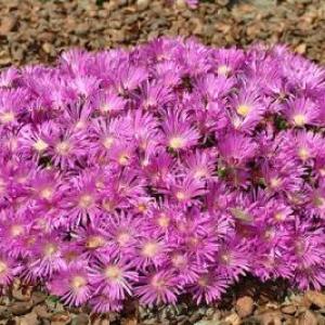 Delosperma, (Ice Plant) Table Mountain