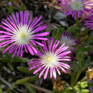 Delosperma (Ice Plant) Starburst® Plug Flat