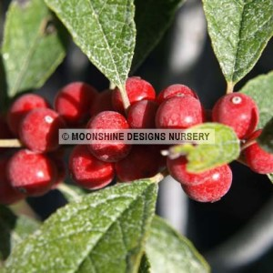 Holly, Winterberry, Afterglow