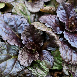 Ajuga, Black Scallop
